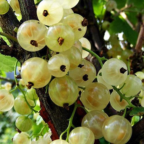 Whitecurrant White Versaille