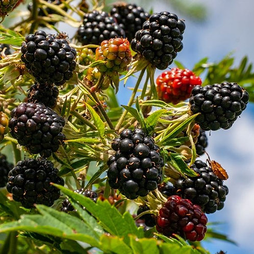 Rubus Fruticosus Blackberry Oregon Thornless 3L