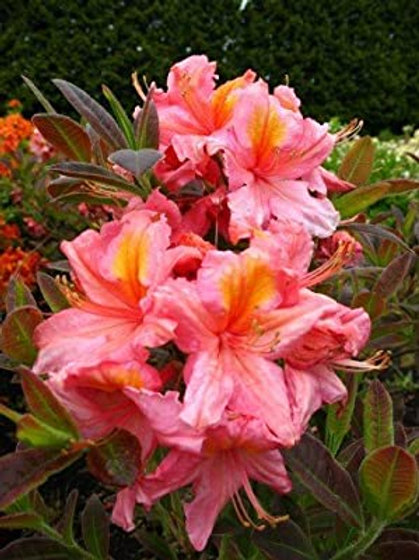 Azalea Berryrose 3L
