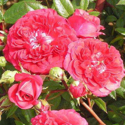 Bentley West Kisses Of Fire Climber / Rambler Rose