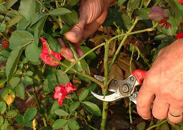 pruning roses 1.jpg