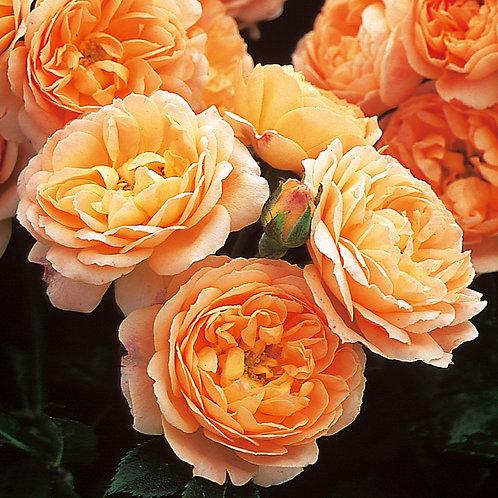 Bentley West Amber Sweet Dream Patio Rose