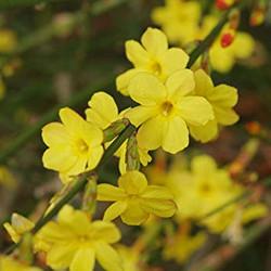 Jasminium Nudiflorum (Winter Jasmine