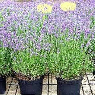 Lavenders - 9cm