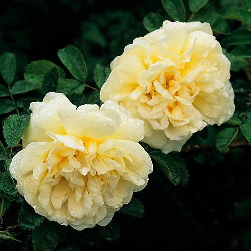 Bentley West Agnes Shrub Rose