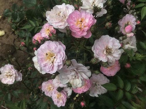 Bentley West Perrenial Blush Climber / Rambler Rose