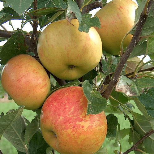Apple (Malus) Sunset 12L