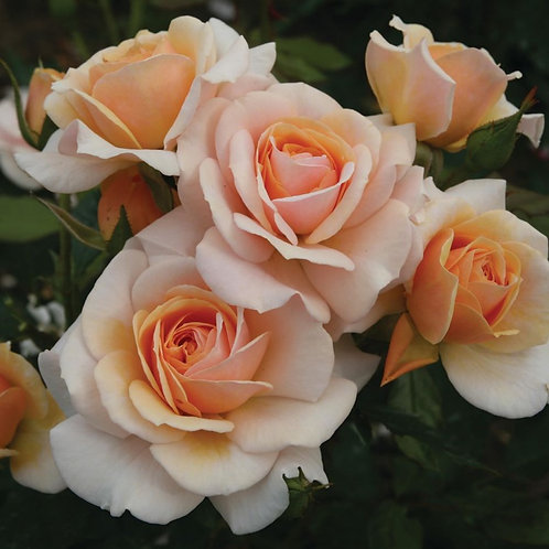Bentley West Sweet Honey Floribunda Rose