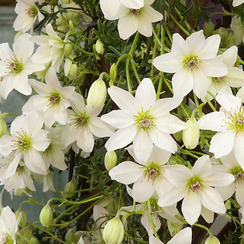 Clematis Early Sensation 3L