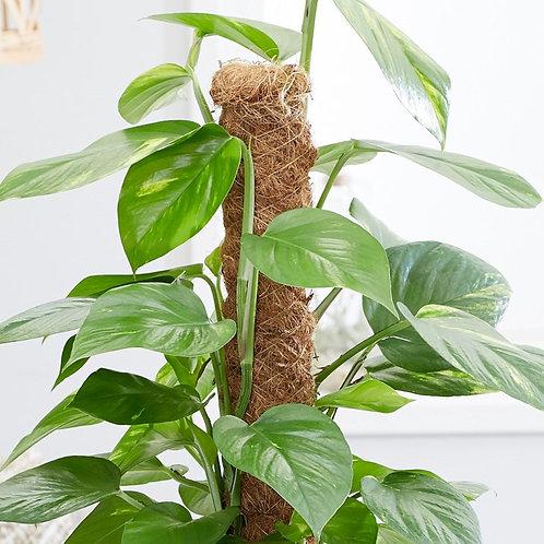 Moss Pole 80cm