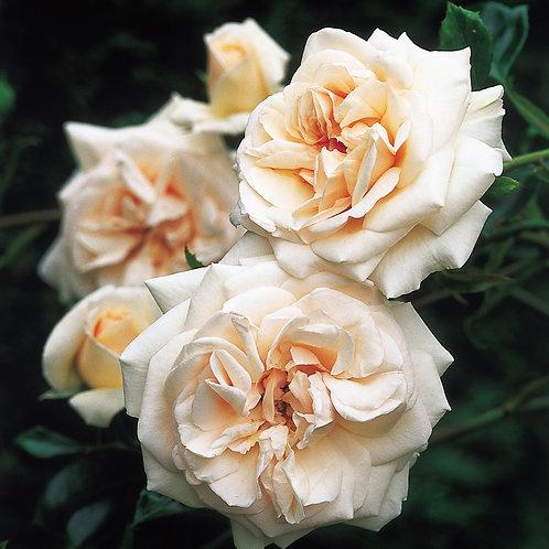 Bentley West Penny Lane Climber / Rambler Rose