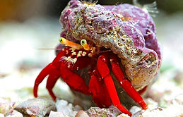 hermit crab clean up crew.jpg
