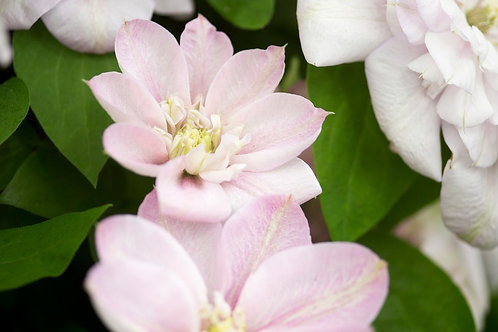 Clematis Innocent Blush 3L