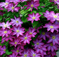 Clematis - the Queen of climbers for flowers.