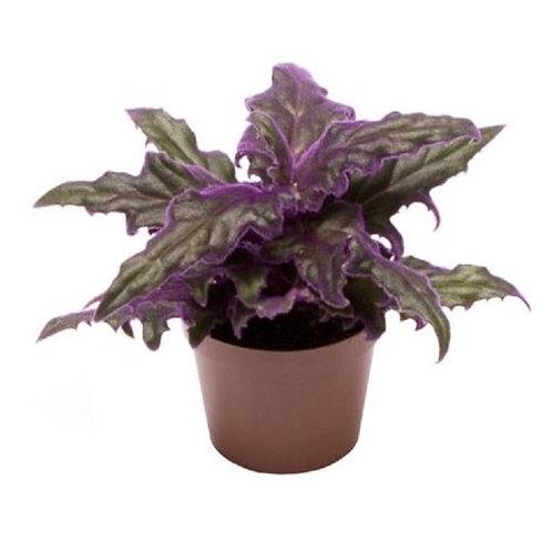 Gynura Purple 6cm
