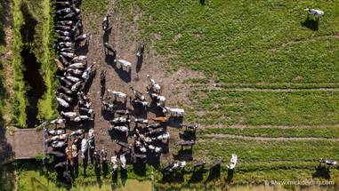 Cows from Above II
