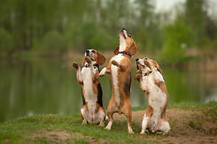 dancing dogs three beagles doing dog tri