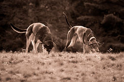 Dogs Chasing A Scent.jpg