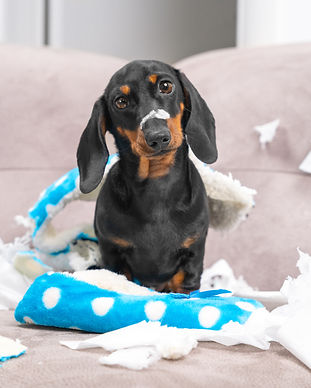 Mess dachshund puppy was left at home al