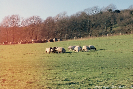 10 Sheep stading in a sussex field, slight lomography light leak,50mm lens, f5.6
