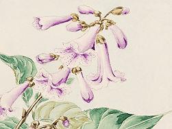 Purple Bellflower Sketch