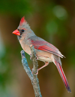 Mrs Cardinal, by Buddy Lauer