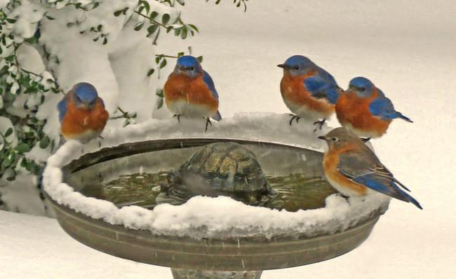 Bluebirds at Birdbath_Penny Parrish.jpg