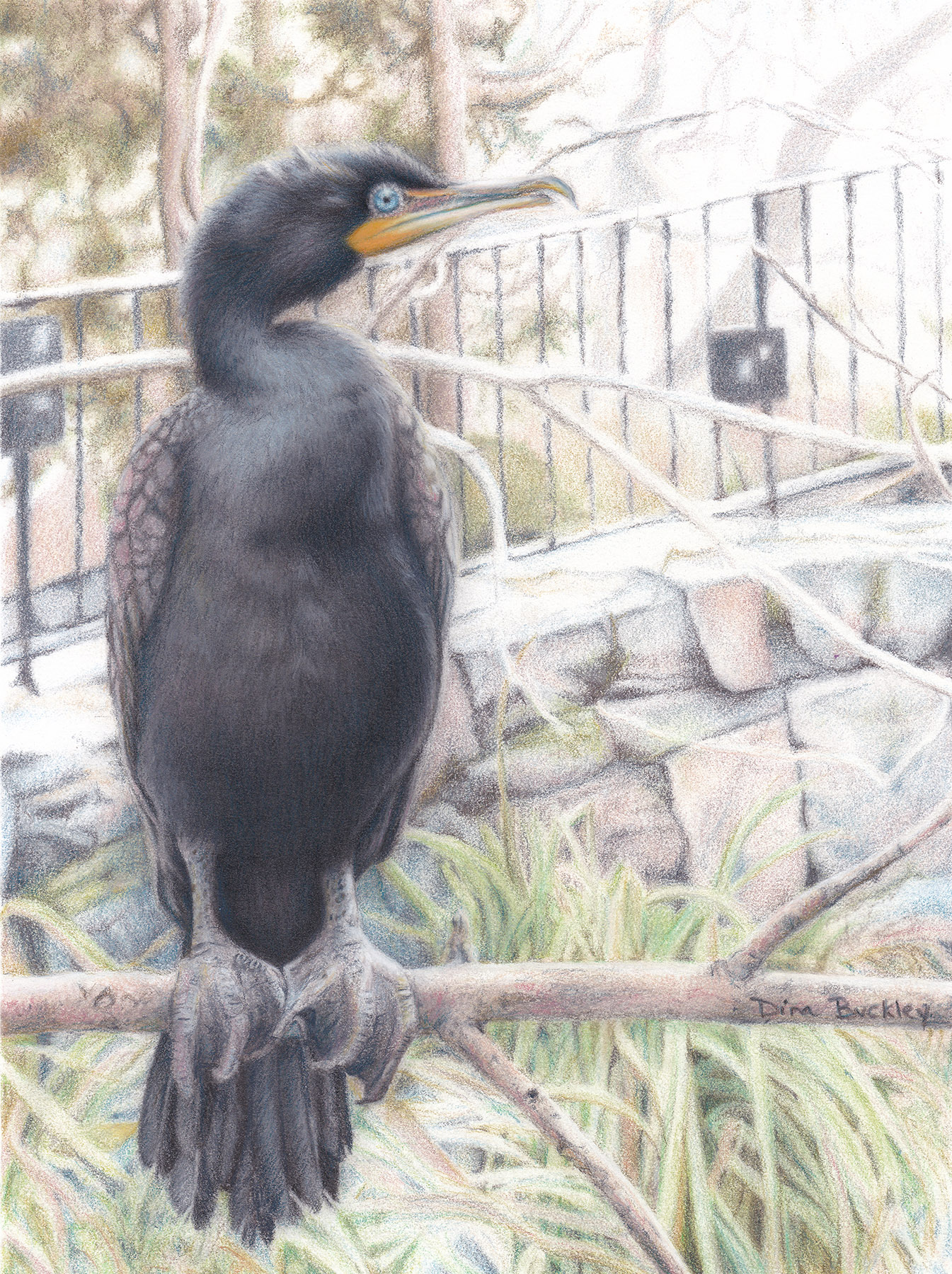 D.Buckley Double-Crested Cormorant
