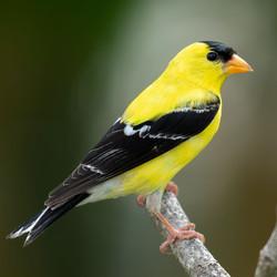Mr Goldfinch, by Buddy Lauer