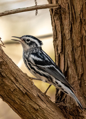 Buddy, Black & White Warbler, 20x16, $16