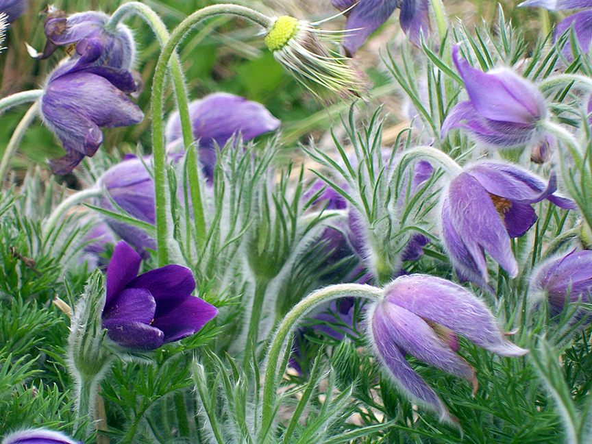 Pasque Flowers, Penny Parrish