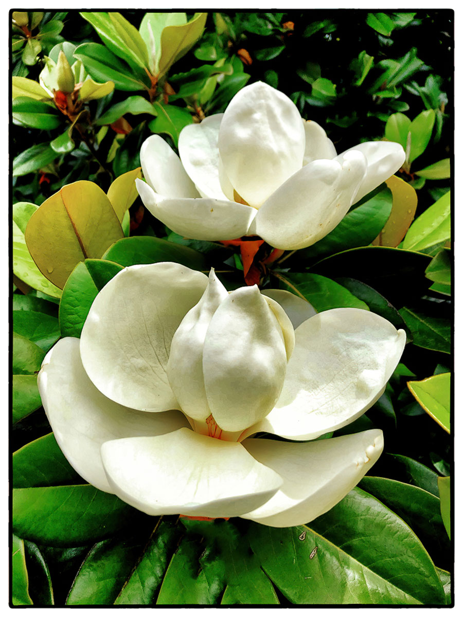 """Magnolia"" by Norma Woodward"