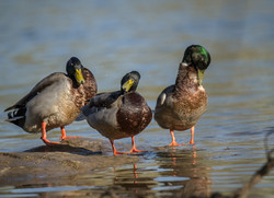 """Mallards Three"", by Buddy Lauer"