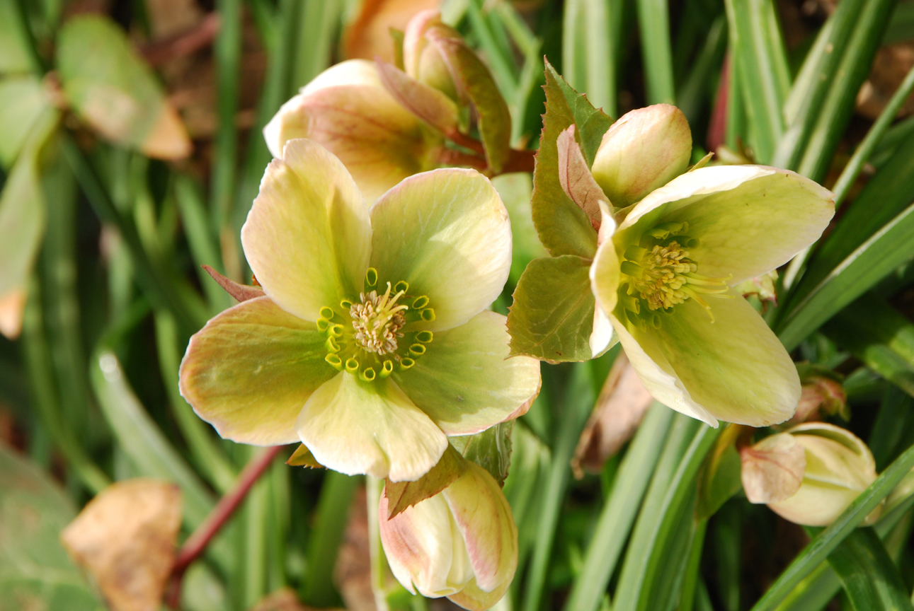 Lenten Rose, Penny Parrish