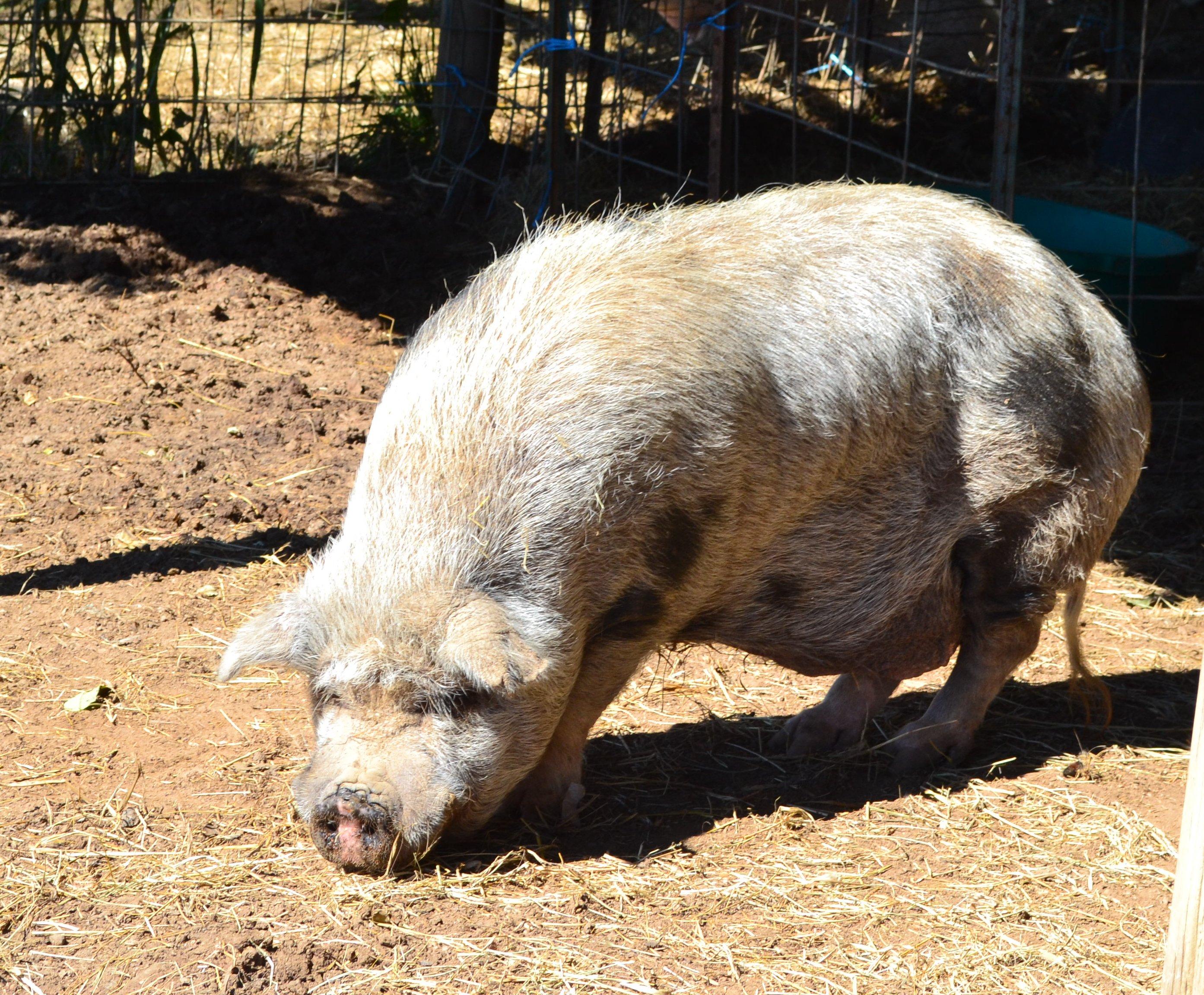 Penny Parrish, Hog