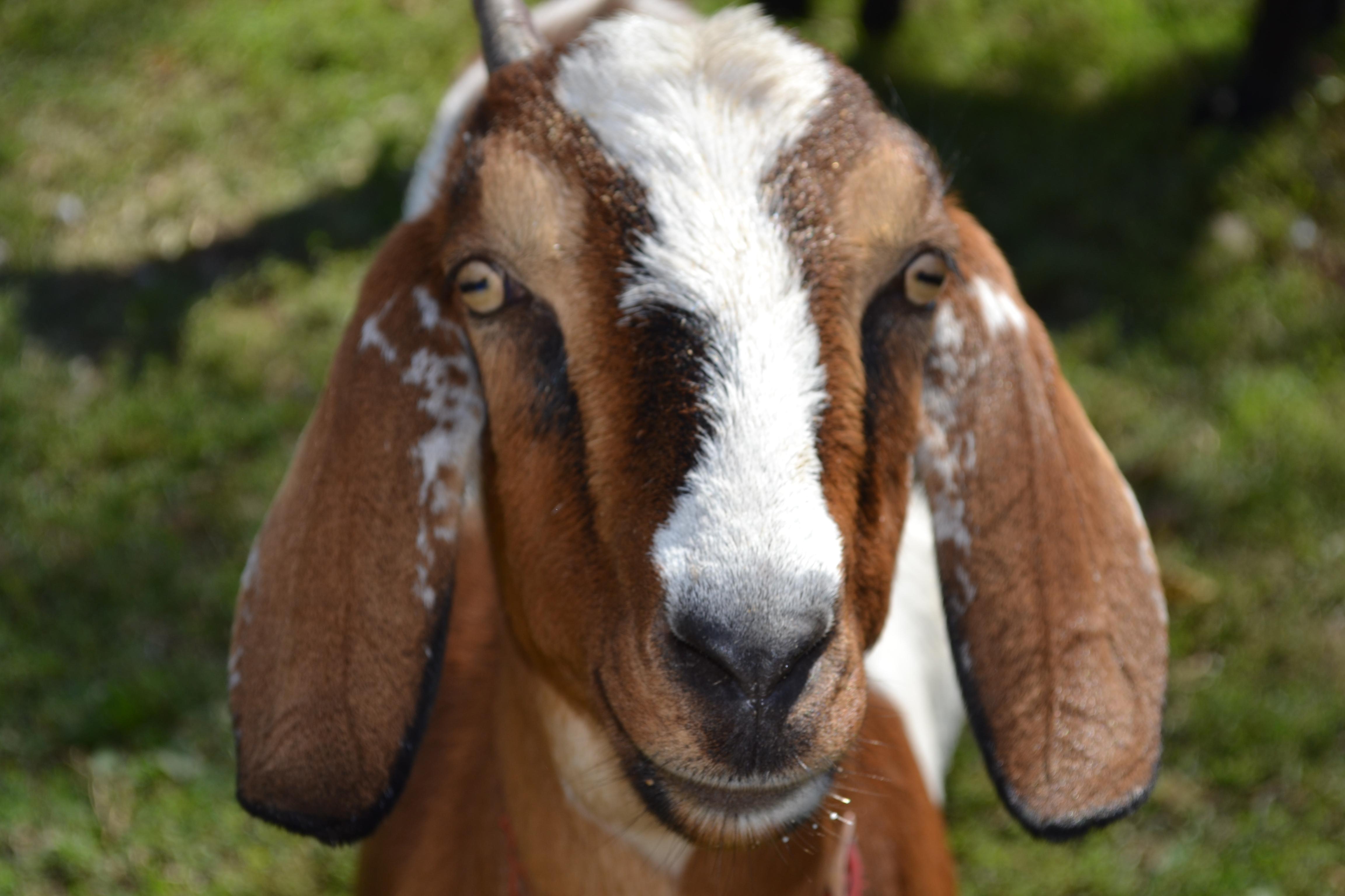Penny Parrish, Goat