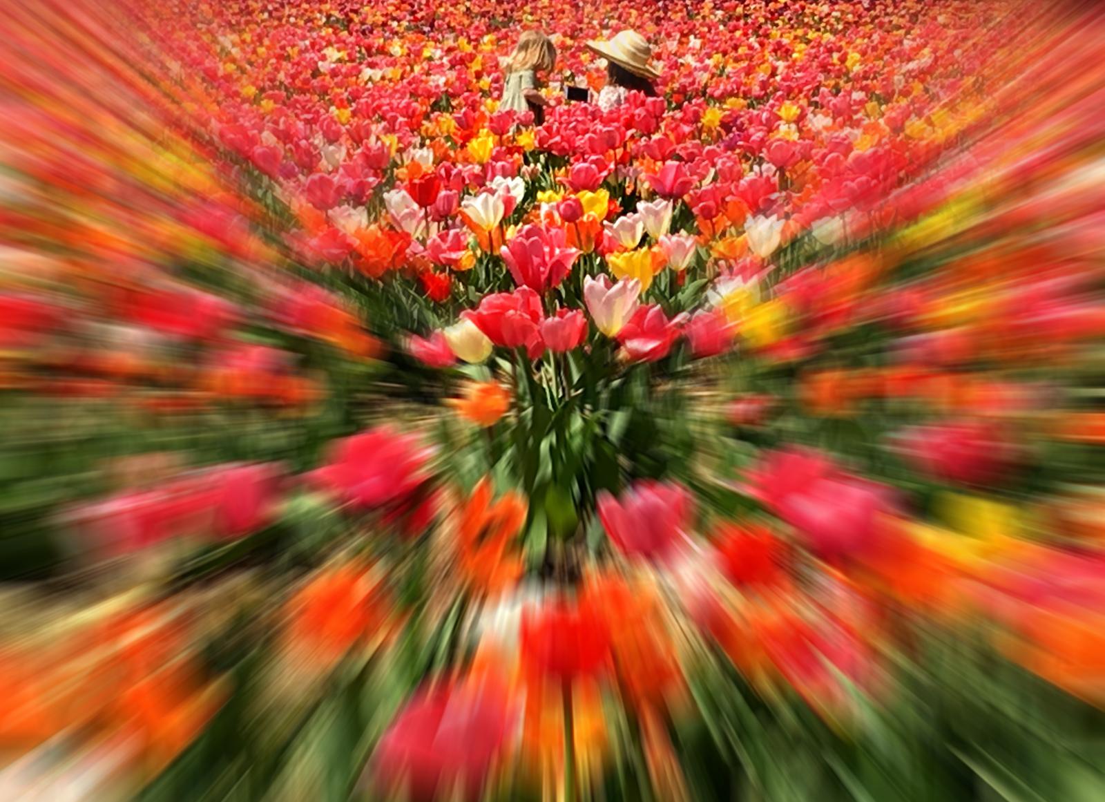 A Tulip Scene, Penny A Parrish