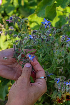borage flowers 2.jpg