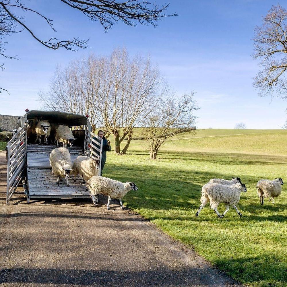 Sheep arriving at Campbell Park, Milton Keynes.