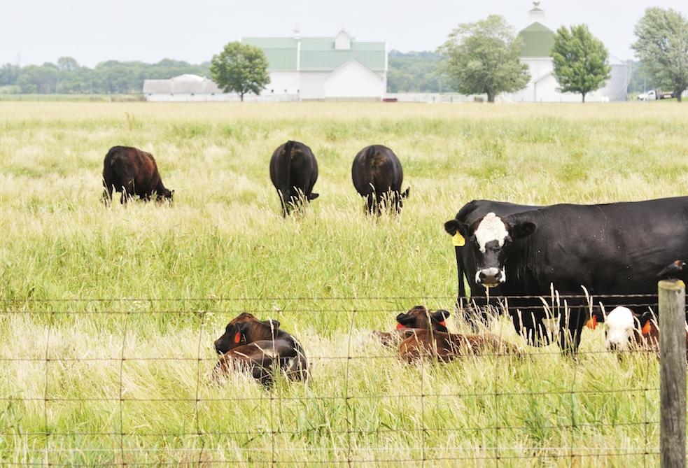 Pastoral Cattle Farming