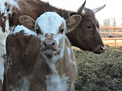 Long horn cattle Carrie Plett.JPG