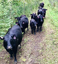 Laura%20Plett%20cows_edited.jpg