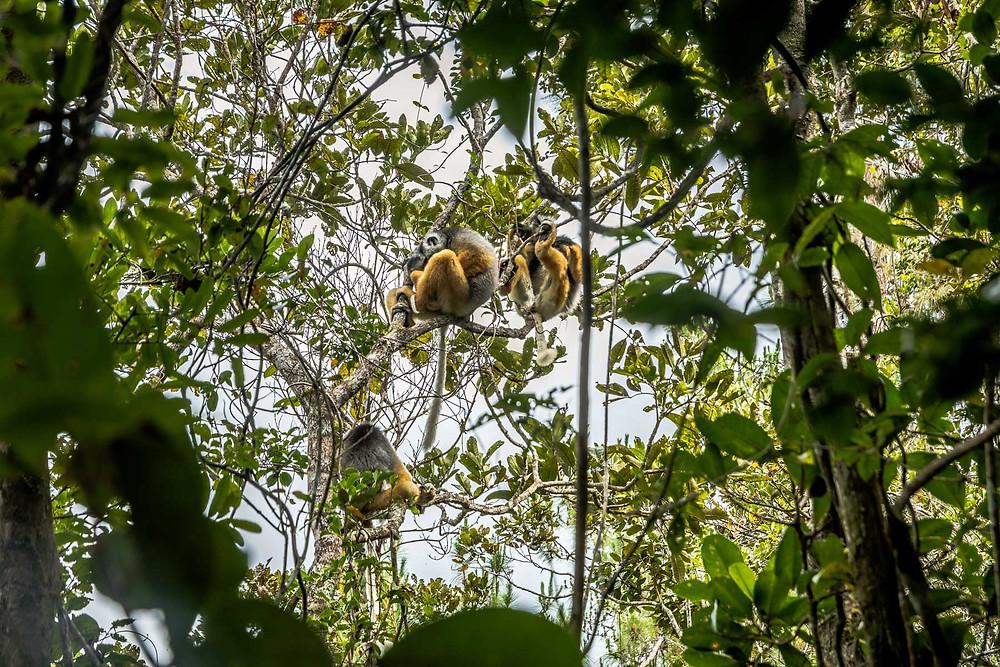 Lémuriens, Parc Andasibe Mantadia, Madagascar