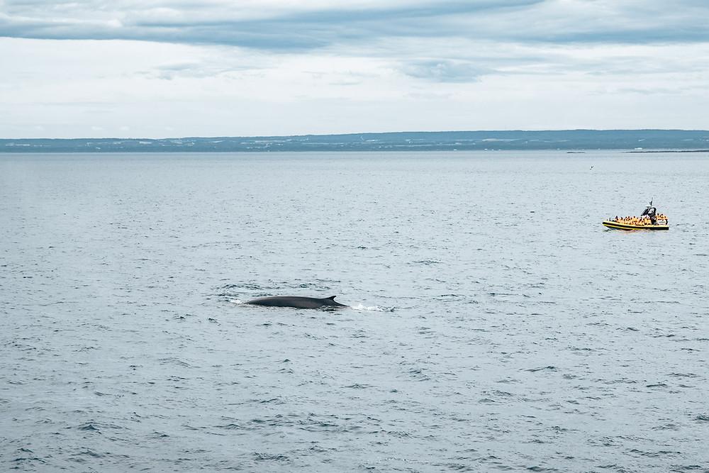 Baleine Croisières AML Tadoussac