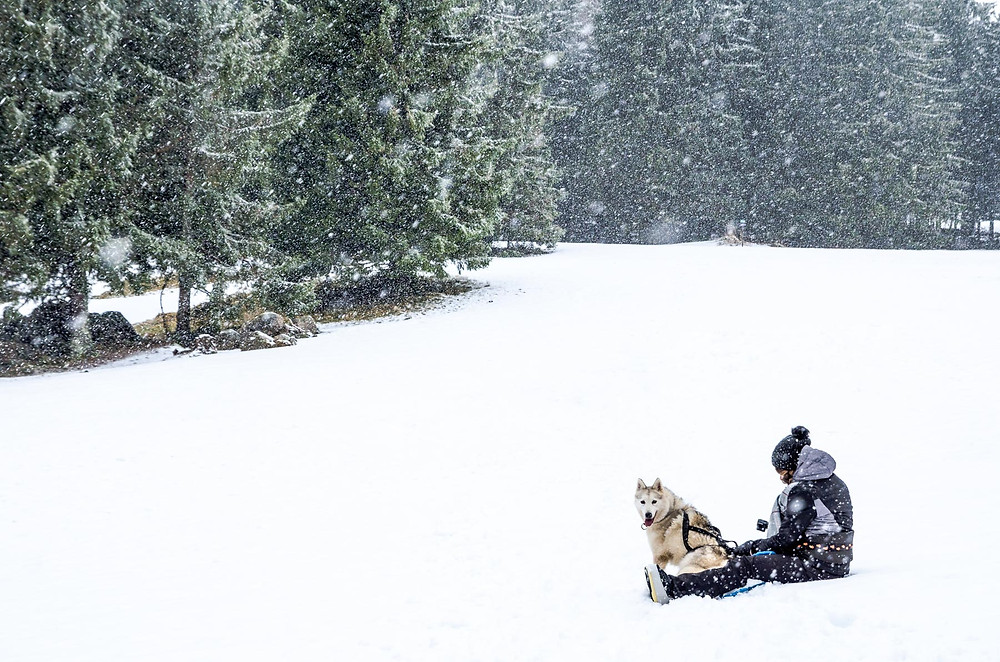 Cani-raquette, Husky, la Petite Finlande, Orbey, Massif des Vosges