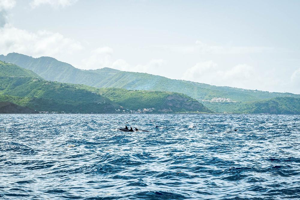Dauphins Schéhérazade Martinique