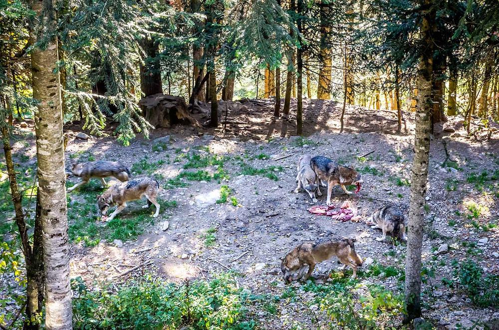Parc Alpha, parc des loups du Mercantour