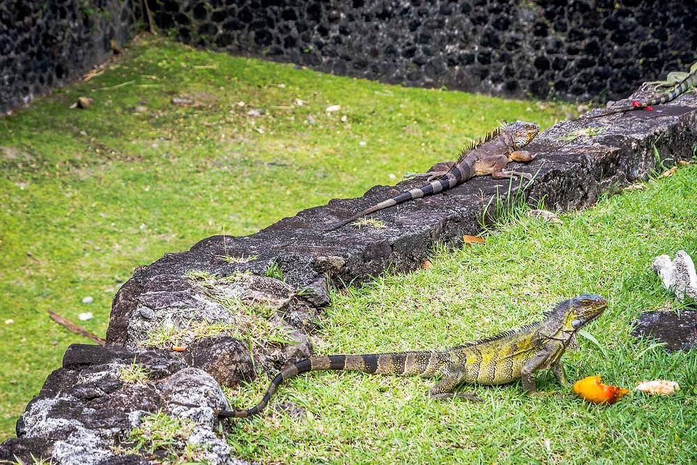 Iguanes, Fort Saint-Louis, Fort-de-France