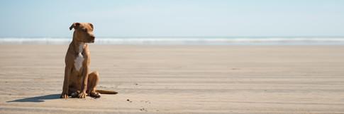 dog on saunton beach in devon