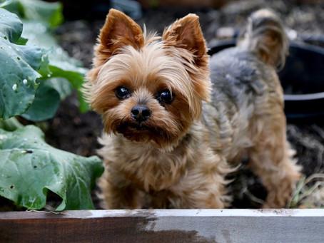 Veggie Dog Dave